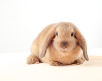 Little bunny isolated on white background. Little rabbit Stock Photos