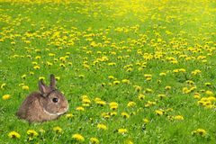 Little bunny rabbit in a grass field filled with dandelions. Eas Stock Photos