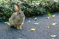 A little bunny rabbit sitting poised, ears perked, at the ready royalty free stock image