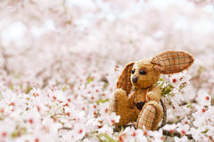 Little bunny  in Spring with blossom cherry flower sakura Stock Photos