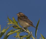 Little Bunting Royalty Free Stock Photography