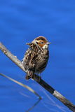 Little Bunting. A bird sitting on a branch Royalty Free Stock Photos