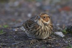 Little bunting Emberiza pusilla. Little bunting looking for food on the ground Royalty Free Stock Photos