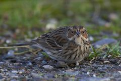 Little bunting Emberiza pusilla. Little bunting looking for food on the ground Stock Photos
