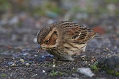 Little bunting Emberiza pusilla. Little bunting looking for food on the ground Royalty Free Stock Photo