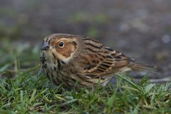 Little bunting Emberiza pusilla. Little bunting looking for food on the ground Stock Photo