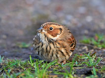 Little Bunting (emberiza pusilla) Royalty Free Stock Photos
