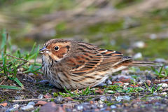 Little Bunting (emberiza pusilla) Royalty Free Stock Image