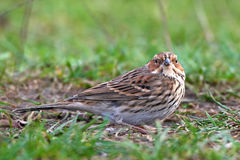 Little Bunting (emberiza pusilla) Stock Photos