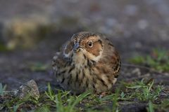 Little bunting Emberiza pusilla. Little bunting looking for food on the ground Royalty Free Stock Photography