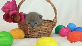 Little burmese kitten in a wicker basket among easter eggs stock video footage
