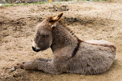 The little burro. Donkey. The little burro. Donkey close-up  on the farm Stock Photography