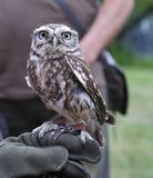 Little burrowing owl,Athene cunicularia. Stock Photos
