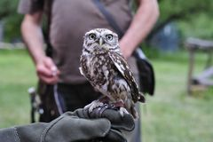 Little burrowing owl,Athene cunicularia. Royalty Free Stock Images