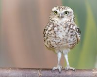 Little burrowing owl standing on a log. Facing the camera man stock images
