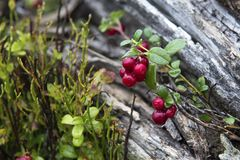 Little bush of cranberries in a forest mountain in autumn. royalty free stock images