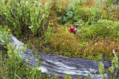 Little bush of cranberries in a forest mountain in autumn. royalty free stock photography