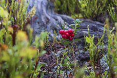 Little bush of cranberries in a forest mountain in autumn. stock photography