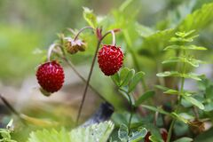 Free Little Bush Of Wild Red Strawberry In A Forest Mountain,late Spring. Royalty Free Stock Photo - 182480165