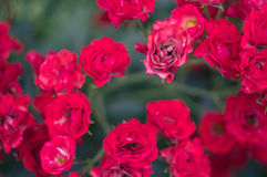 Little bush of red rose Royalty Free Stock Photo
