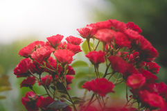 little bush of red rose Royalty Free Stock Images