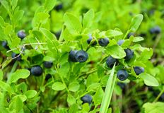 Little bush of ripe blueberry Royalty Free Stock Images