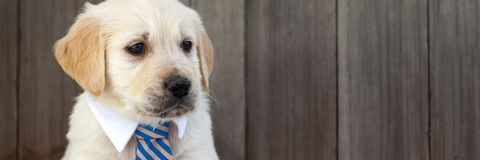 Little Business Puppy stock photos