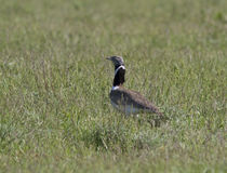 Little Bustard male in spring steppe. Royalty Free Stock Images