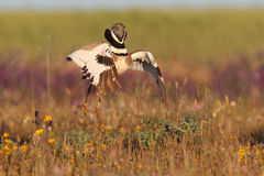 Little Bustard - Mating ritual. Male of little bustard make the ritual jump Royalty Free Stock Images