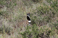 Little bustard stock photos