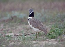 Little bustard russia Royalty Free Stock Photography