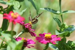 Little butterfly find food on  flower Royalty Free Stock Photography