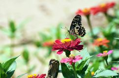 Little butterfly find food on red flower Royalty Free Stock Photography