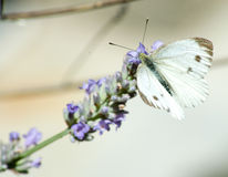 A little butterfly on a flower. Macro photography of a Green-veined white butterfly on a flower of lavender Royalty Free Stock Image