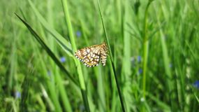Little butterfly on grass, Lithuania Stock Photos