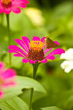 A LITTLE BUTTERFLY ON PINK ZINNIA Stock Images