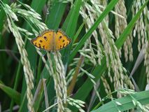 Little butterfly in a rice field, orange and green matching well stock photos