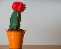 Little cactus. Cactus with a red hat  in a orange flowerpot Stock Images