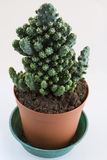 Little cactus Royalty Free Stock Image