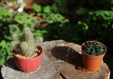 Little cactus Stock Images
