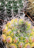 Little cactus full of spines Royalty Free Stock Image