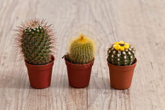 Little Cactus plant Royalty Free Stock Image