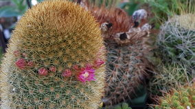 Little cactus. Small catus display Royalty Free Stock Photos