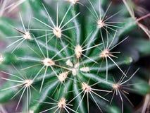 Cactus. Golden barrel cactus. Little cactus in the sunshine morning royalty free stock photos