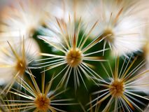 Cactus. Golden barrel cactus. Little cactus in the sunshine morning royalty free stock photography