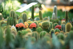 Little cactuses Royalty Free Stock Photography