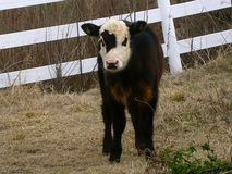 Little calf. A small calf that got out of the field stock image
