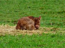 Little Calf Royalty Free Stock Images