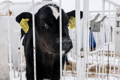 Little calf on a dairy farm. farming. stock photo