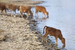 Little calf drinking water Stock Photo